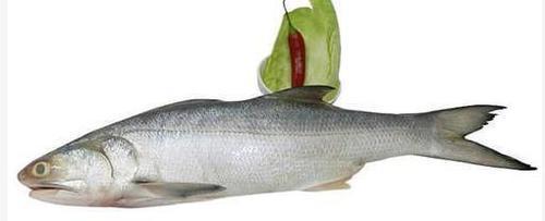 Rawas (Indian Salmon)