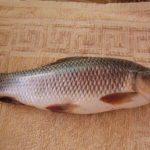 Rohu Rohu or Carpo Fish