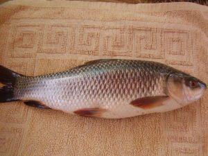 Rohu (Rohu or Carpo Fish)