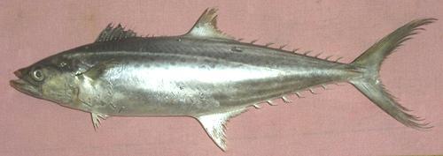 Surmai King Fish Seer Fish